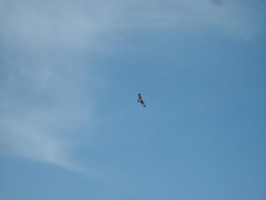 Free photo: Bird of prey on the sky