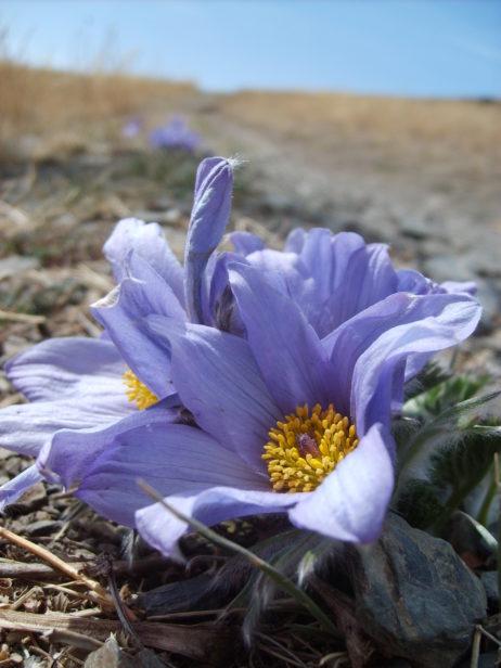 Blossom in mongolian steppe