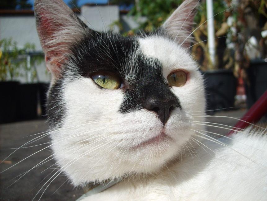 Free photo: Black and white cat