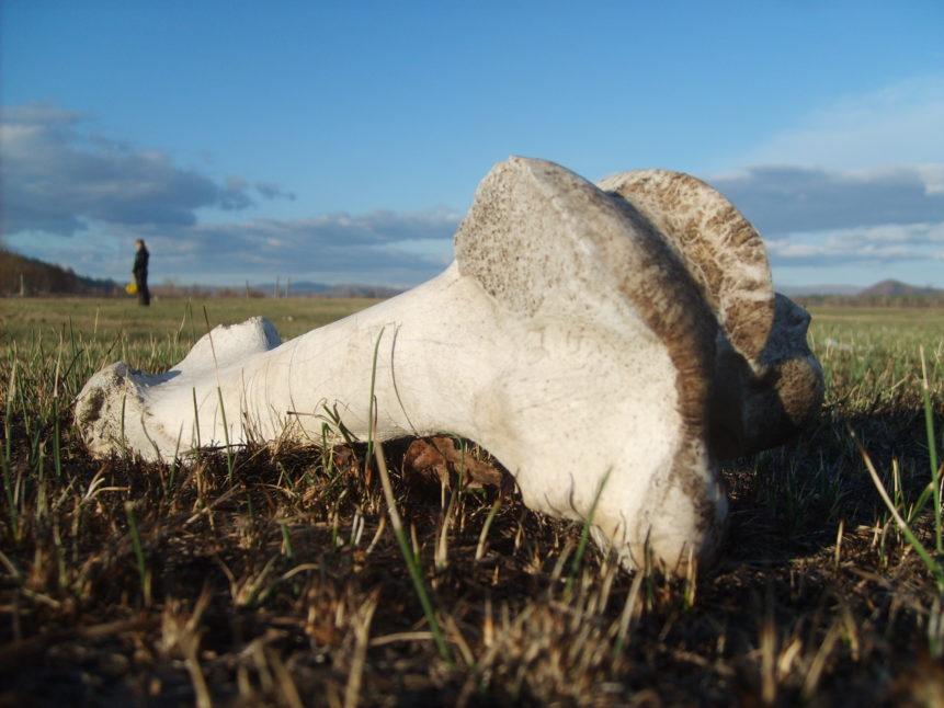 Free photo: Photo of cow bone