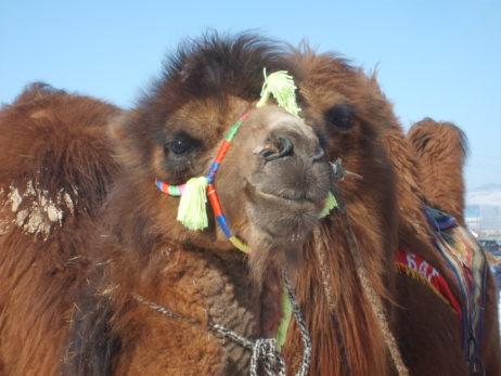 Mongolian racing camel