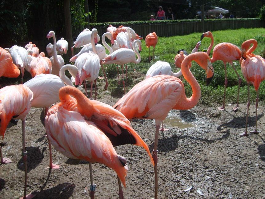 Free photo: Flamingos