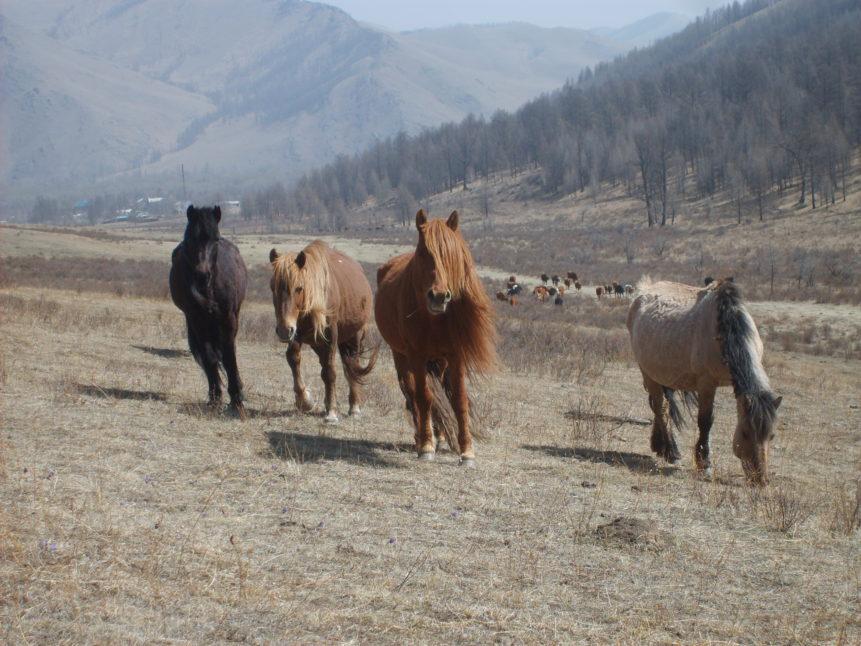 Free photo: Horses in Mongolia