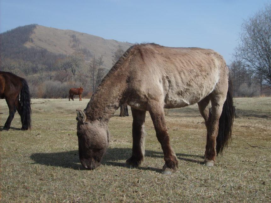 Free photo: Mongolian horse