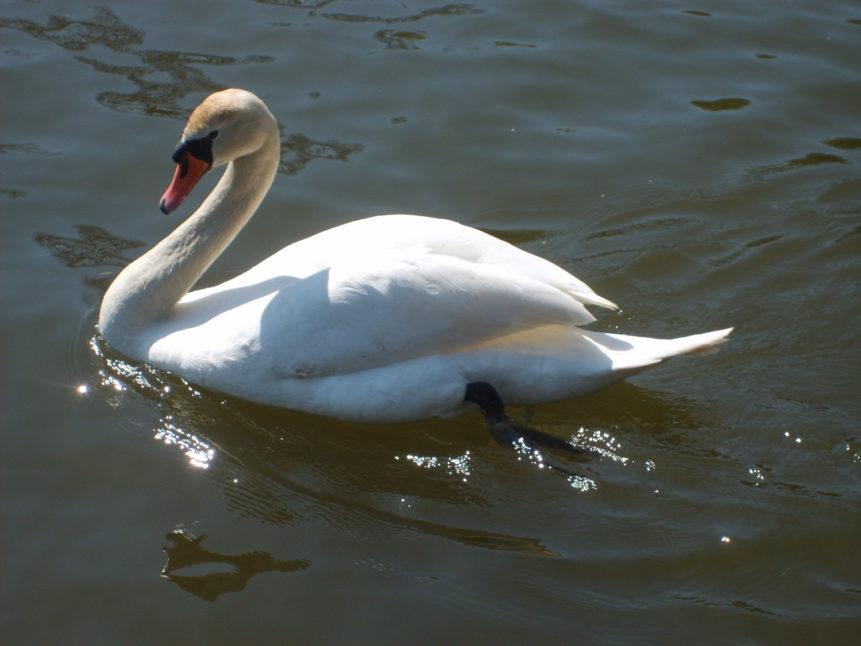 Free photo: Photo of swan