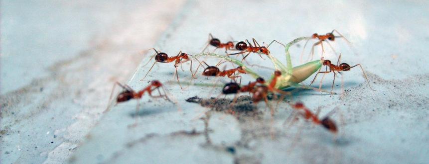 Free photo: Ants eat the grasshopper