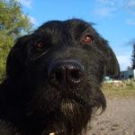 Black dog's face