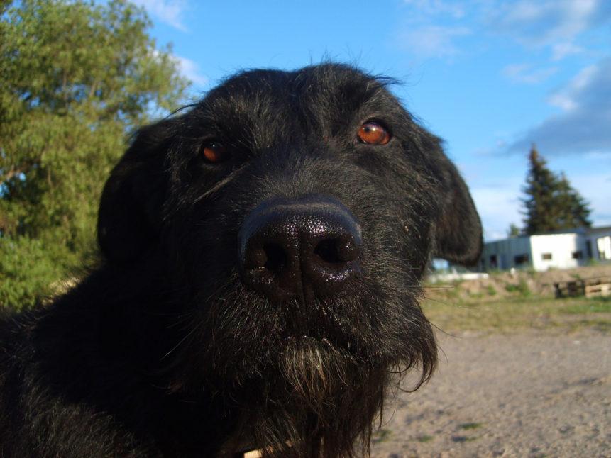 Free photo: Black dog's face