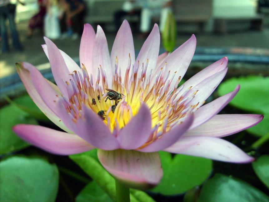 Free photo: Lotus flower