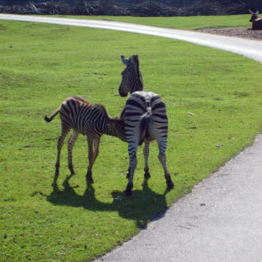 Breastfeeding zebra