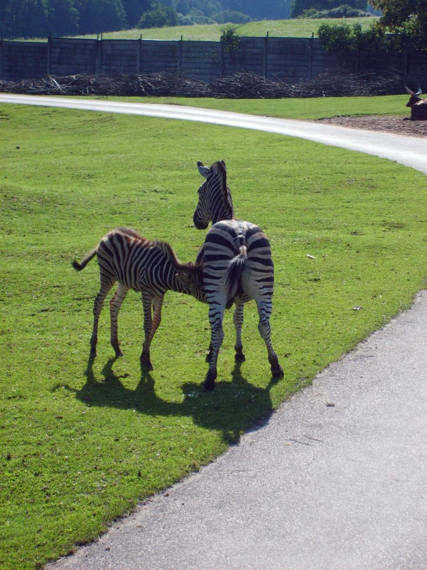 Free photo: Breastfeeding zebra