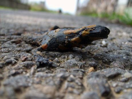 Dead Fire salamander