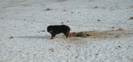 Dog eats a dead dog