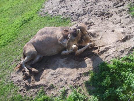 Lying Camel