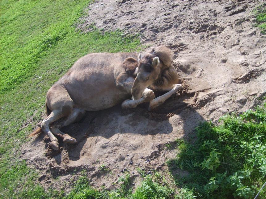 Free photo: Lying Camel