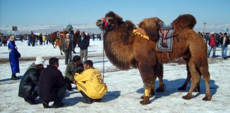 Racing camel in Mongolia