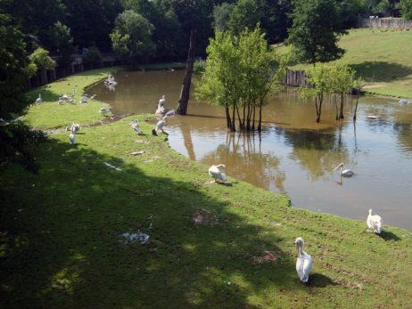 Pelicans in Zoo