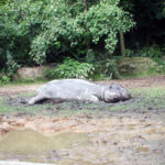 Sleeping hippo in Zoo