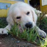 White dog eats bone