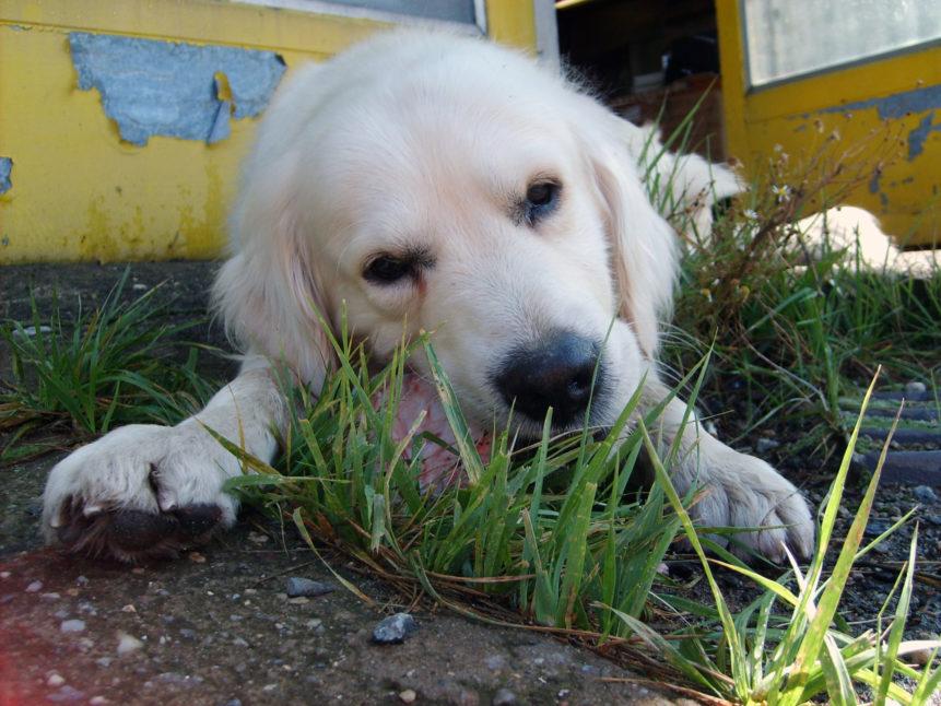 Free photo: White dog eats