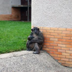 Chimpanzee in ZOO