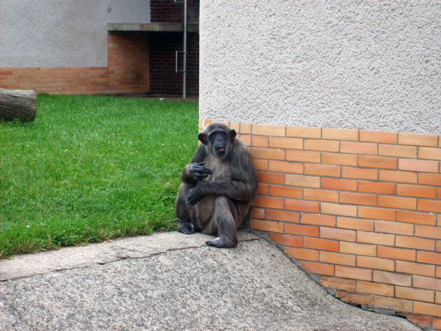 Free photo: Chimpanzee in ZOO