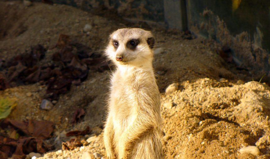 Free photo: Standing meerkat