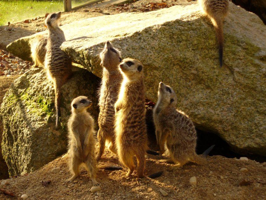 Free photo: Meerkats