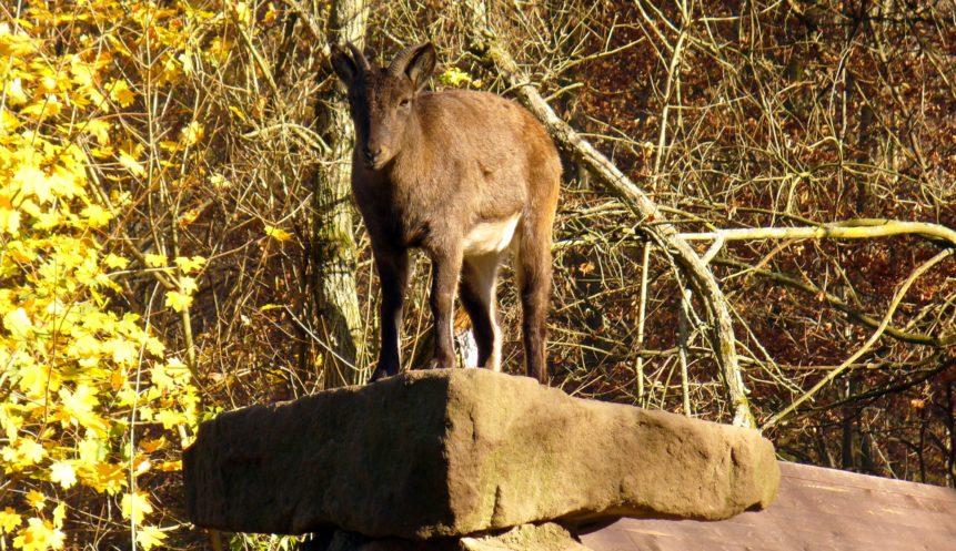 Free photo: Mountain goat