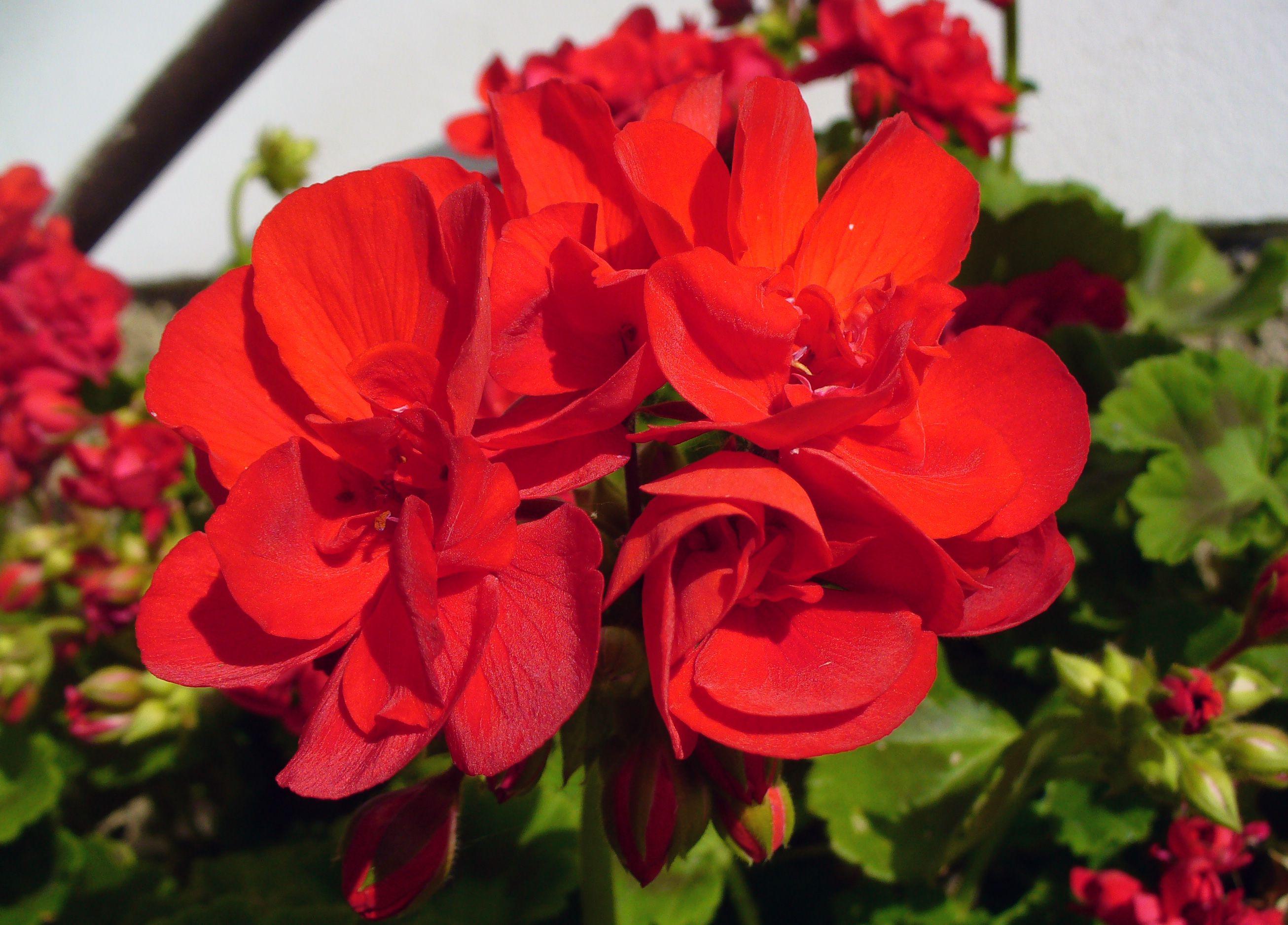 free image: red flower | libreshot public domain photos