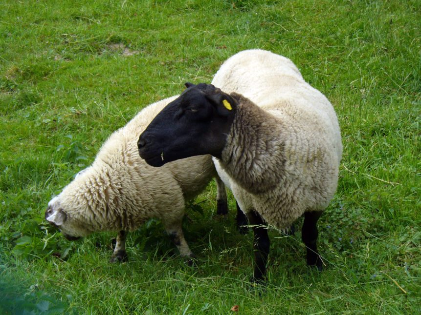 Free photo: Two Sheeps