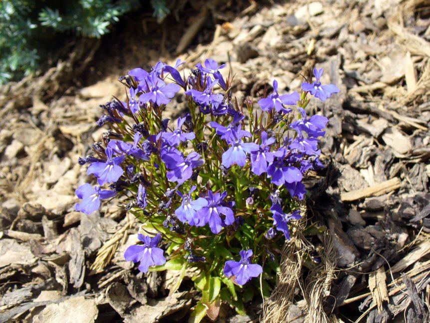 Free photo: Violet Blossom