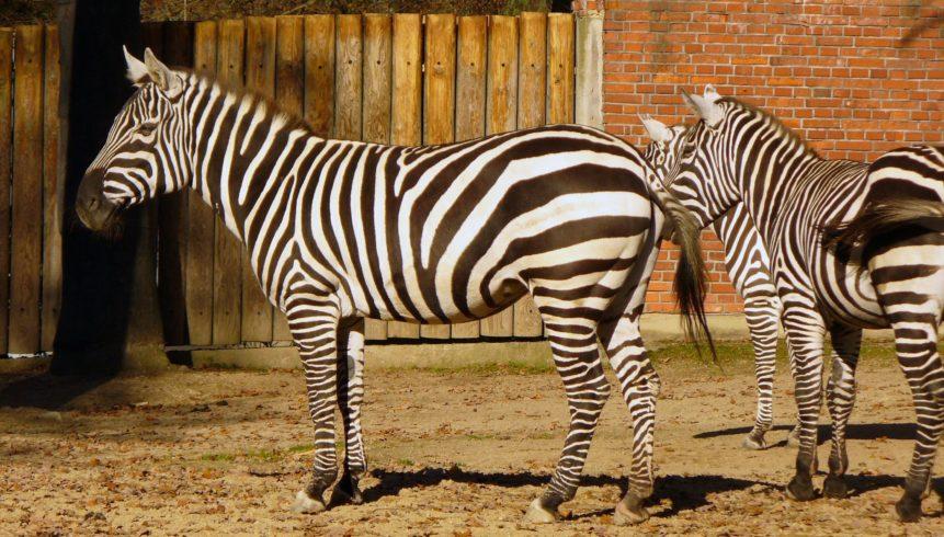 Free photo: Zebra