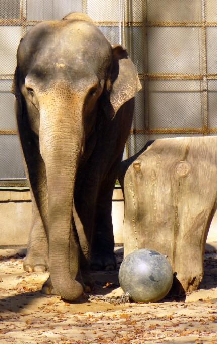 Free photo: Elephant in ZOO