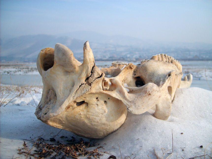 Free photo: Animal skull in the snow
