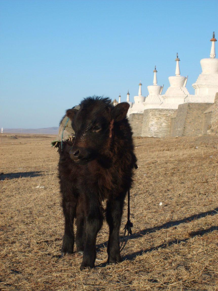 Free photo: Black Calf