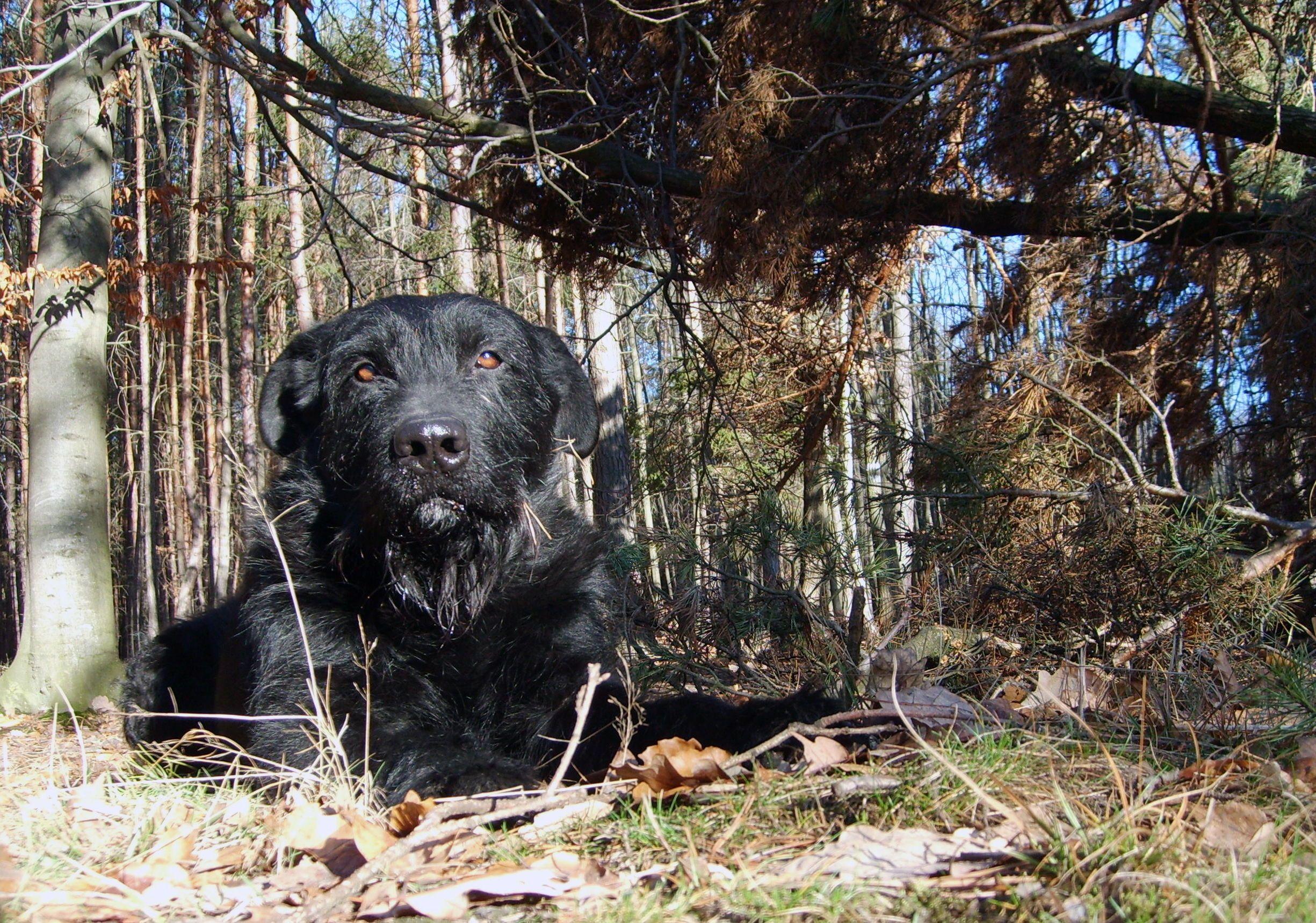 lying black dog free stock images by libreshot
