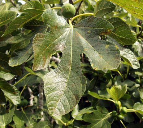 Common Fig Leaf