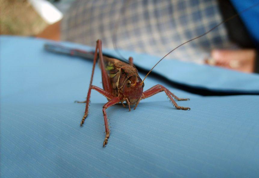 Free photo: Grasshopper