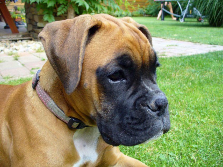 Free photo: Boxer Puppy