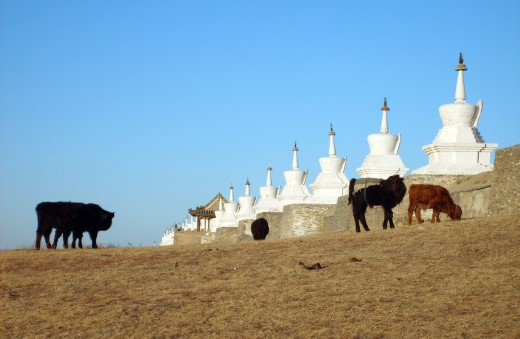 Cows In Mongolia