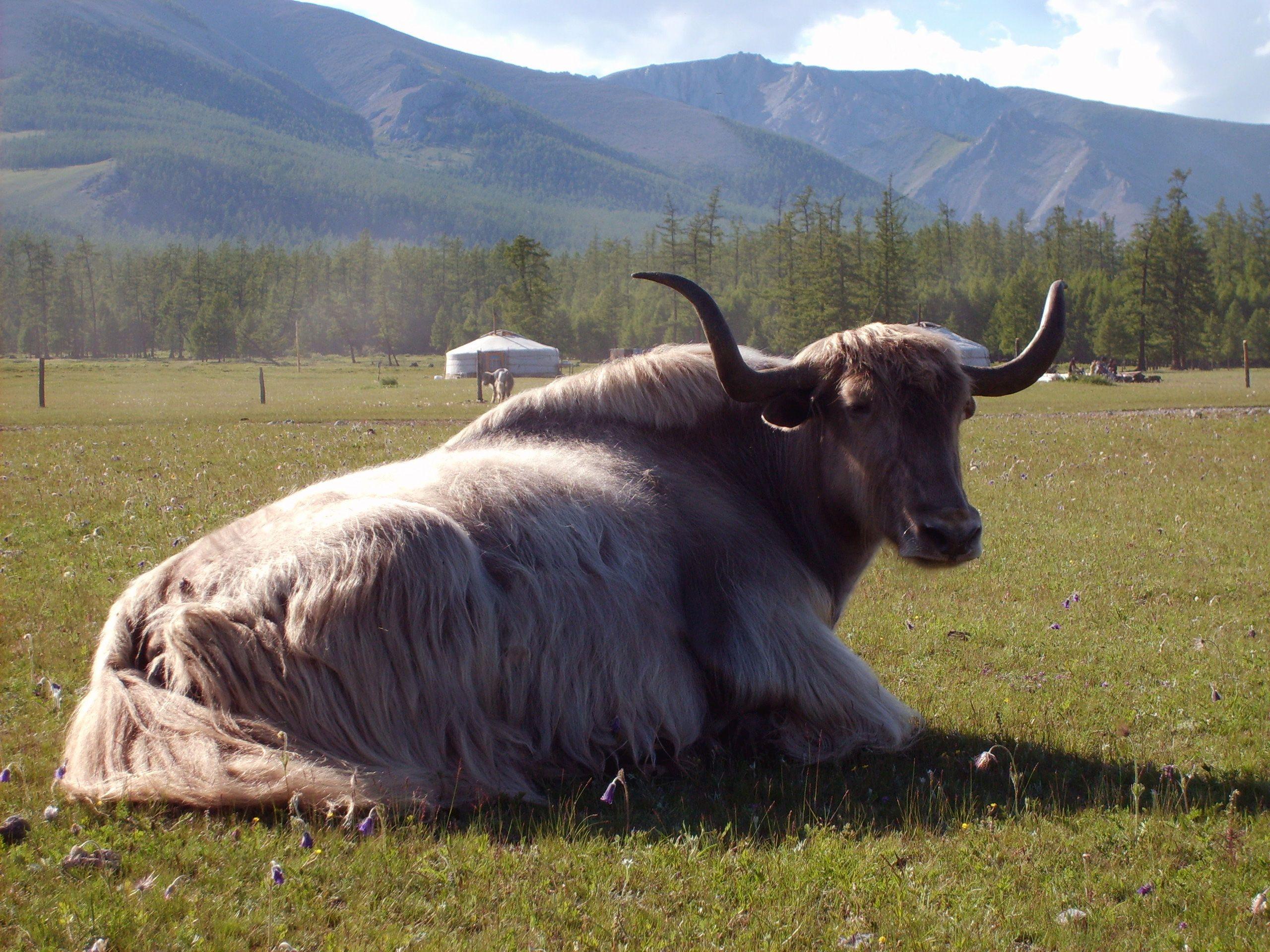 Image Of A Yak: FREE Image On LibreShot