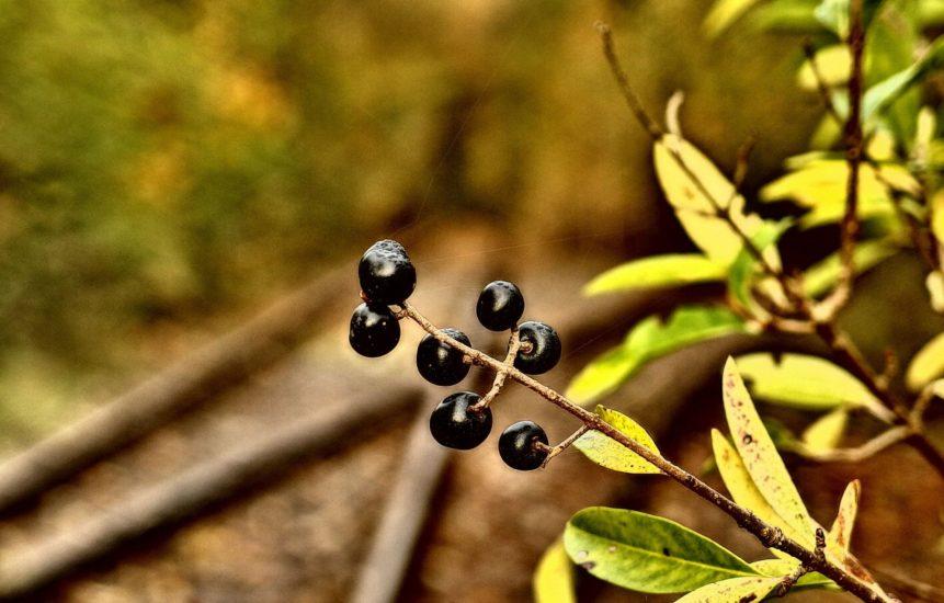 Free photo: Black Rowanberries