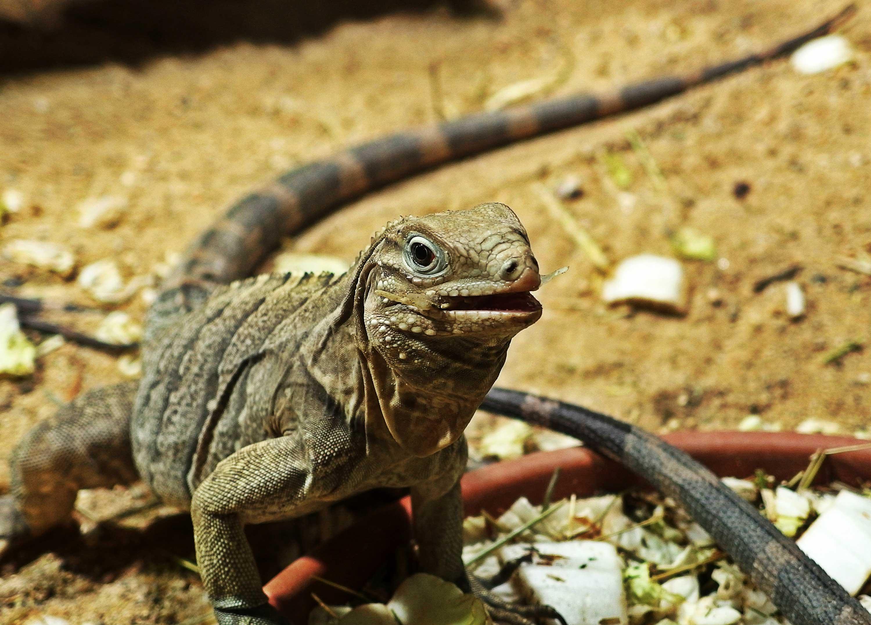 Iguana reptile