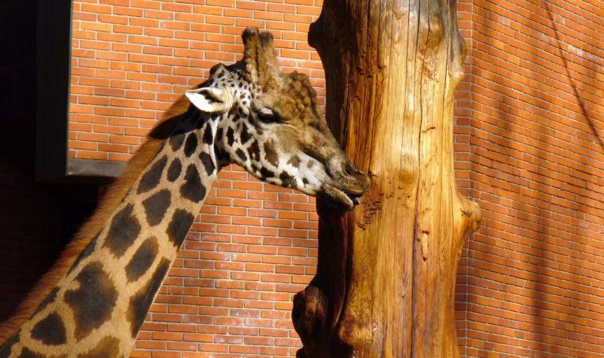 Free photo: Giraffe