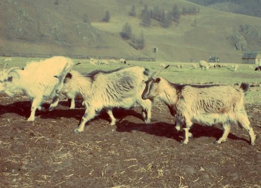Free photo: Goats
