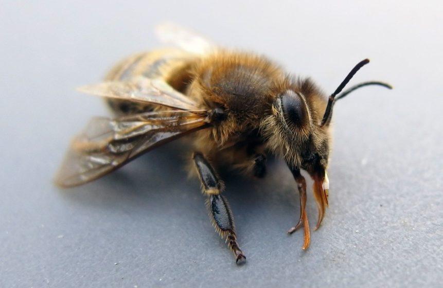 Free photo: Bee On Macro Photography