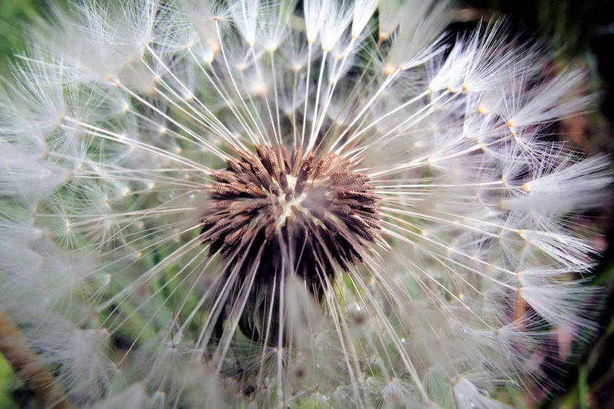 Free photo: Blowball