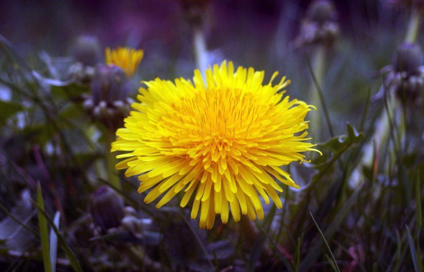 Free photo: Dandelion Blossom