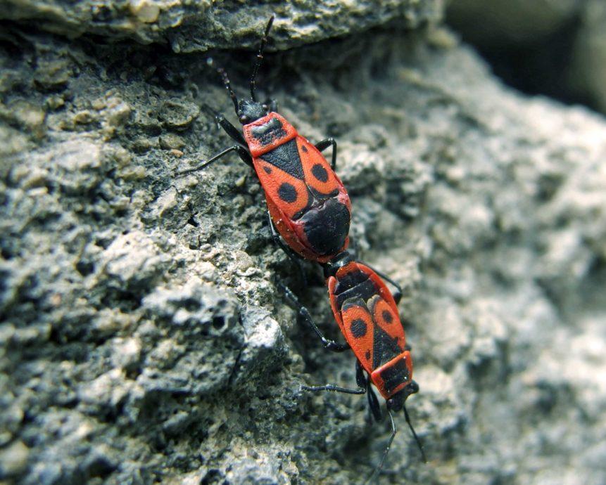 Free photo: Pyrrhocoris Apterus